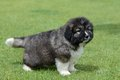 Little puppy of caucasian shepherd in a canine center in spain Royalty Free Stock Images