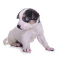 Little puppy crossbreed animal isolated on white background Royalty Free Stock Photo