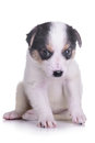 Little puppy crossbreed animal isolated on white background Royalty Free Stock Photography