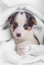 Little puppy crossbreed animal on white blanket Stock Image