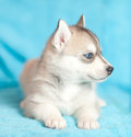 Little puppy dog husky lying on a turquoise background little husky with blue eyes Stock Images
