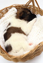 Little puppy sleeping in basket dog Stock Photos