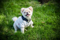 Little puppy. He smiles and shows his tiny canine teeth. Royalty Free Stock Photo