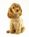 Little puppy on white background Royalty Free Stock Images