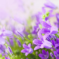Little Purple Campanula Flowers