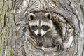 Little Raccoon Peeking our of Hole in Tree Royalty Free Stock Photo