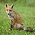Little Red fox in the dunes Royalty Free Stock Photo
