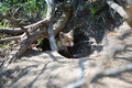 Little red fox in the hole Royalty Free Stock Photo