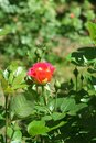 Little red-yellow rose flower Royalty Free Stock Photo