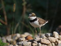 Little Ringed Plover Royalty Free Stock Photo