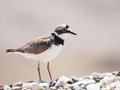 Little ringed plover charadrius dubius on beach Royalty Free Stock Photo