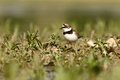 Little ringed plover charadrius dubius in the natural enviroment Stock Images