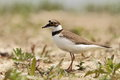 Little ringed plover charadrius dubius in the natural enviroment Stock Photo