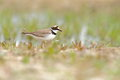 Little ringed plover charadrius dubius in the natural enviroment Royalty Free Stock Photos