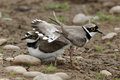 Little ringed plover charadrius dubius pair displaying midlands june Stock Image