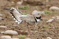 Little ringed plover charadrius dubius single bird displaying midlands june Stock Photos