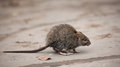 Little scared dirty gray mouse Royalty Free Stock Photo
