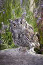 Little screech owl on log. Royalty Free Stock Photo