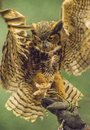 A little Screech Owl poses on a handler`s glove. Royalty Free Stock Photo