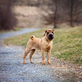 Little shar pei dog in a park square picture Royalty Free Stock Photo