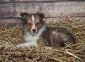 Little Sheltie puppy Royalty Free Stock Photo