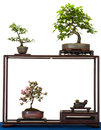 Little Shohin-Bonsai-trees in a wooden shelf Stock Image