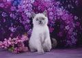 Little Siamese kitten on burgundy background abstract Royalty Free Stock Photo