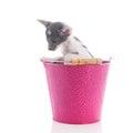 Little Siamese kitten Royalty Free Stock Photo