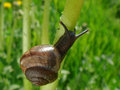 Little snail Stock Photography