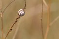A little snail upon a stem Stock Photography