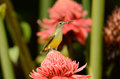 Little spiderhunter beautiful arachnothera longirostra possing on flawer Royalty Free Stock Photos