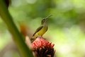 Little spiderhunter beautiful arachnothera longirostra possing on flawer Royalty Free Stock Photography