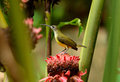 Little spiderhunter beautiful arachnothera longirostra possing on flawer Royalty Free Stock Images