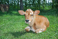 Little spotted calf lying on the grass. Royalty Free Stock Photo
