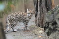 Little Spotted Cat