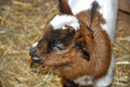 Little spotty goatling. Royalty Free Stock Photo