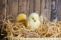 Little spring chicken in a nest Royalty Free Stock Photos