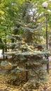 Little spruce in the boulevard