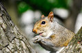 Little squirrel cute with big eyes having lunch Royalty Free Stock Images