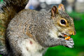 Little squirrel cute with big eyes having lunch Stock Image