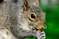 Little squirrel cute with big eyes having lunch Royalty Free Stock Photos
