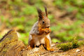 Little squirrel eating nut Stock Photo
