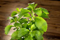 Little stevia plant green natural sweetener growing in a pot Royalty Free Stock Photos