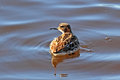 Little stint in the spring on the lake in siberia Royalty Free Stock Photography
