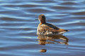 Little stint in the spring on the lake in siberia Stock Image