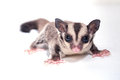 Little sugar-glider on white background Stock Image