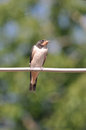 Little swallow Royalty Free Stock Photo