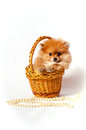 Little sweet present red spitz puppy in the basket with pearls Stock Photos