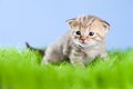 Little tabby kitten Scottish on green grass Royalty Free Stock Image
