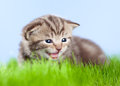 Little tabby kitten Scottish meowing on grass Royalty Free Stock Image